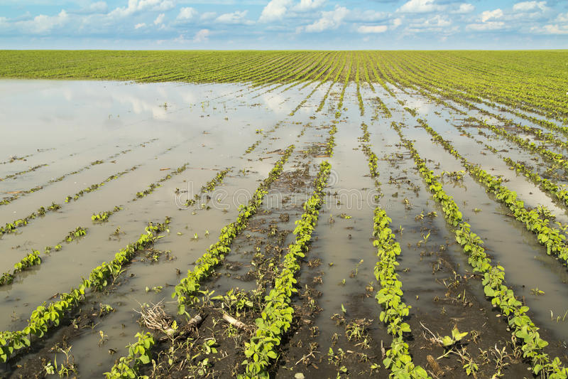 Desastre agrícola, soja inundada imagen de archivo libre de regalías