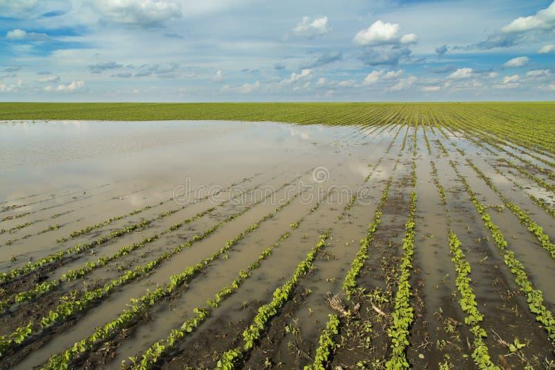 Desastre agrícola, soja inundada imágenes de archivo libres de regalías