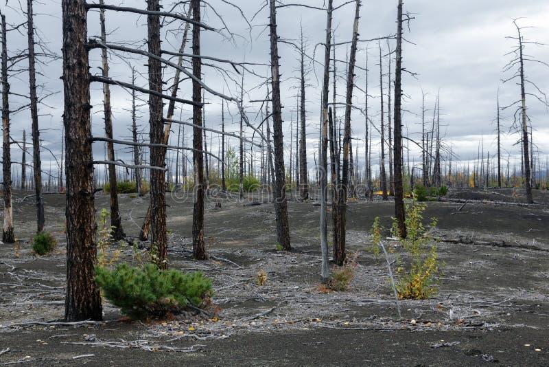 Desastre natural en la península de Kamchatka: árbol quemado en bosque muerto de madera muerto imagen de archivo libre de regalías