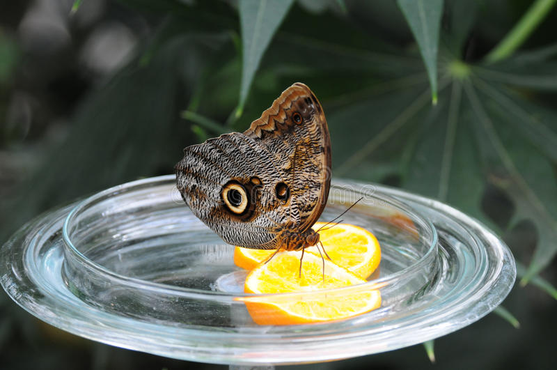 Desayuno de la mariposa de Mainau imagen de archivo libre de regalías