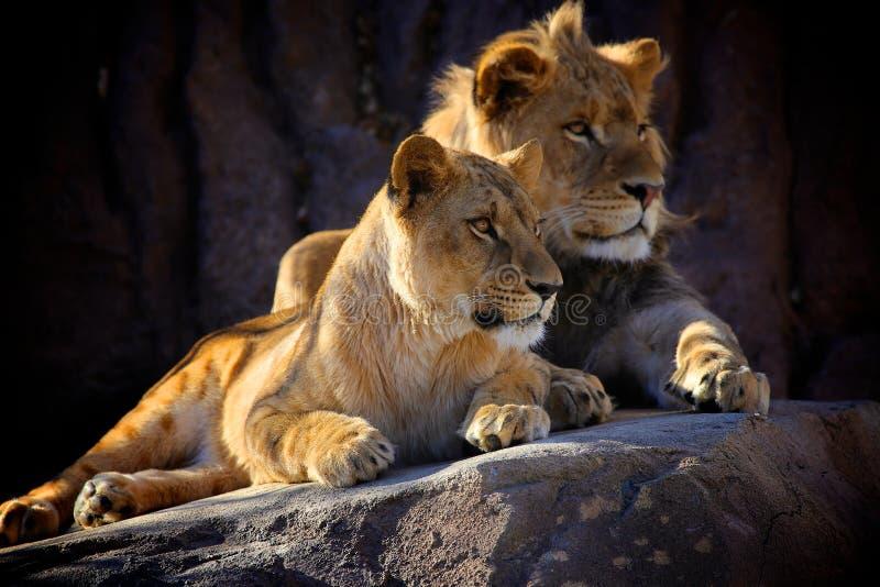 Descanso africano de dois leões foto de stock royalty free