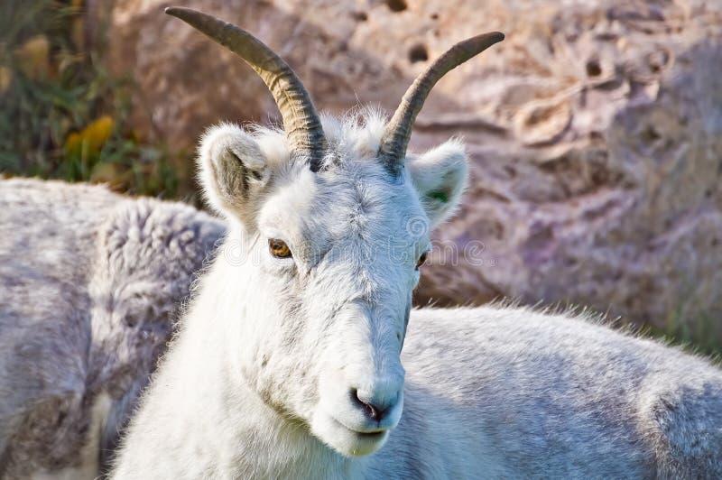 Descanso da cabra de montanha fotos de stock royalty free