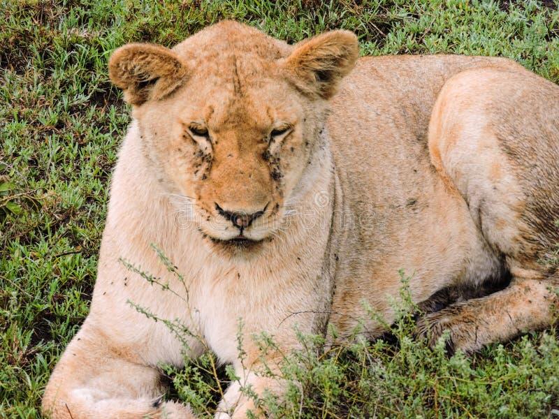 Descanso da leoa fotografia de stock