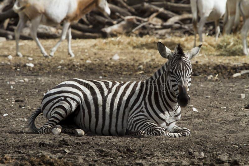 Descanso da zebra imagens de stock