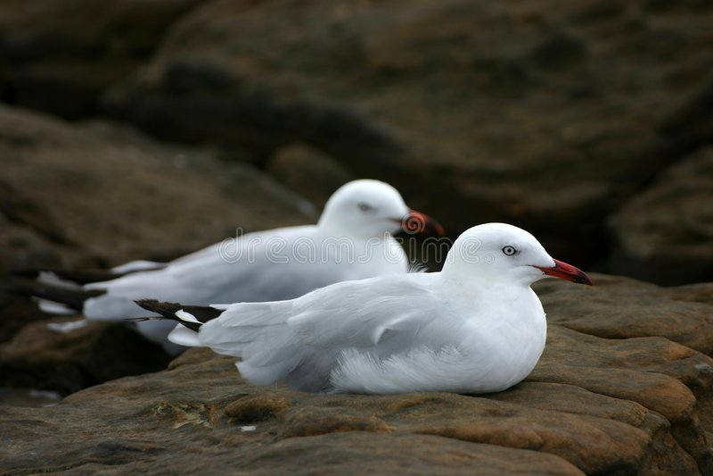 Descanso das gaivotas fotografia de stock royalty free