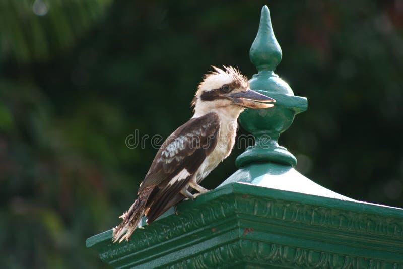 Descanso de Kookaburra imagem de stock