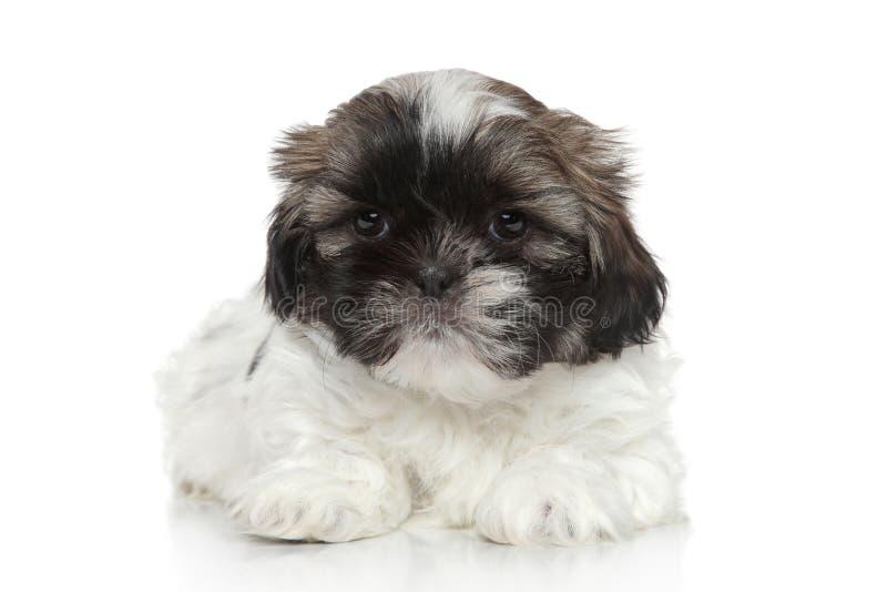 Descanso do cachorrinho de Shih Tzu imagens de stock
