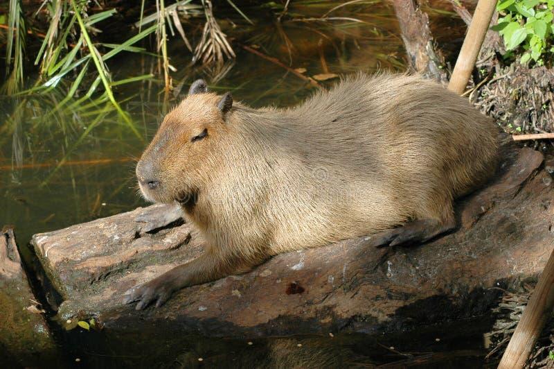 Descanso do Capybara   fotos de stock royalty free