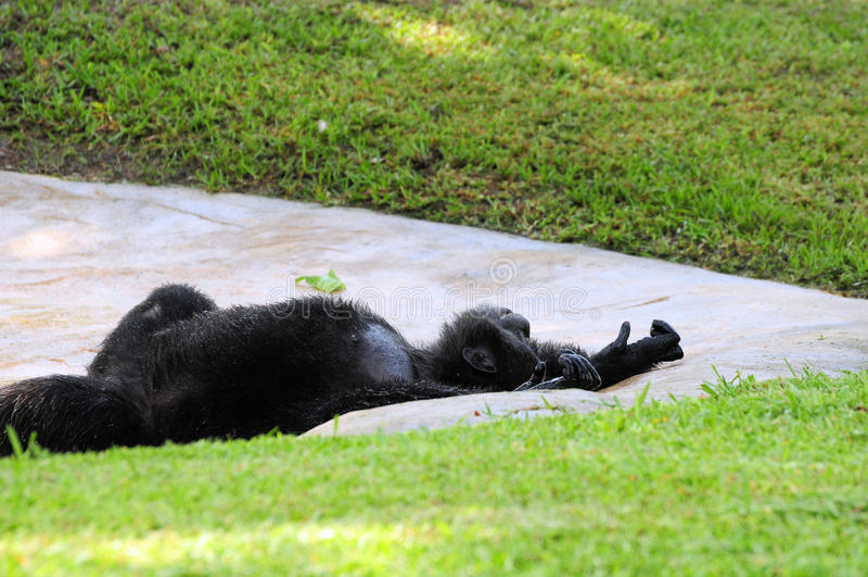 Descanso do chimpanzé imagem de stock royalty free