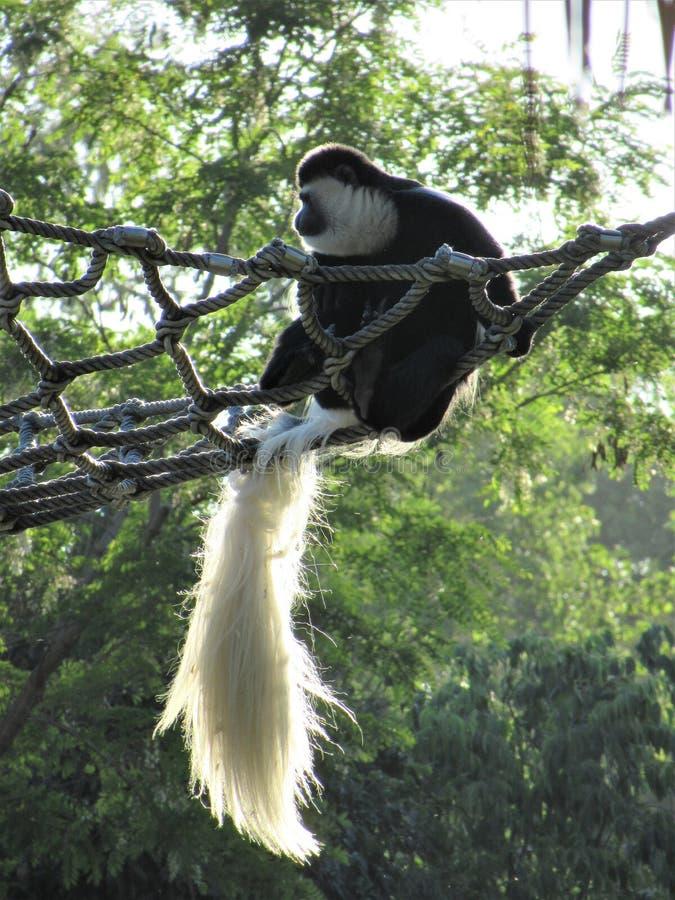 Descanso do macaco do kikuyu do guereza do Colobus imagens de stock royalty free