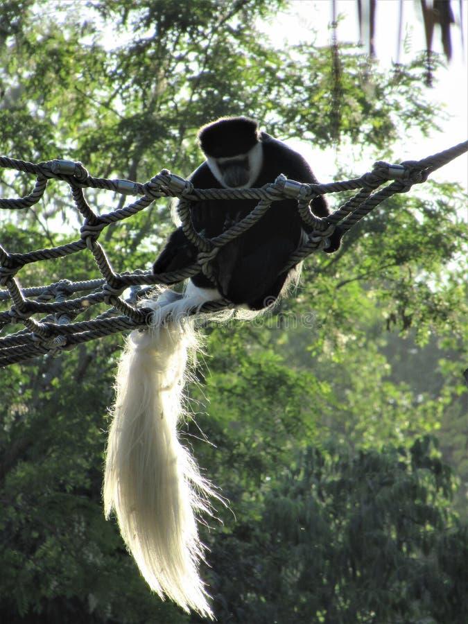 Descanso do macaco do kikuyu do guereza do Colobus foto de stock
