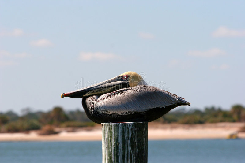 Descanso do pelicano de Brown imagem de stock