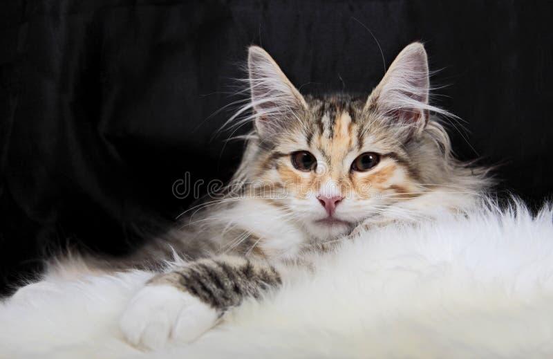 Descanso fêmea do gato norueguês da floresta fotos de stock royalty free