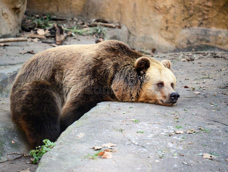 Descanso grande do urso marrom foto de stock