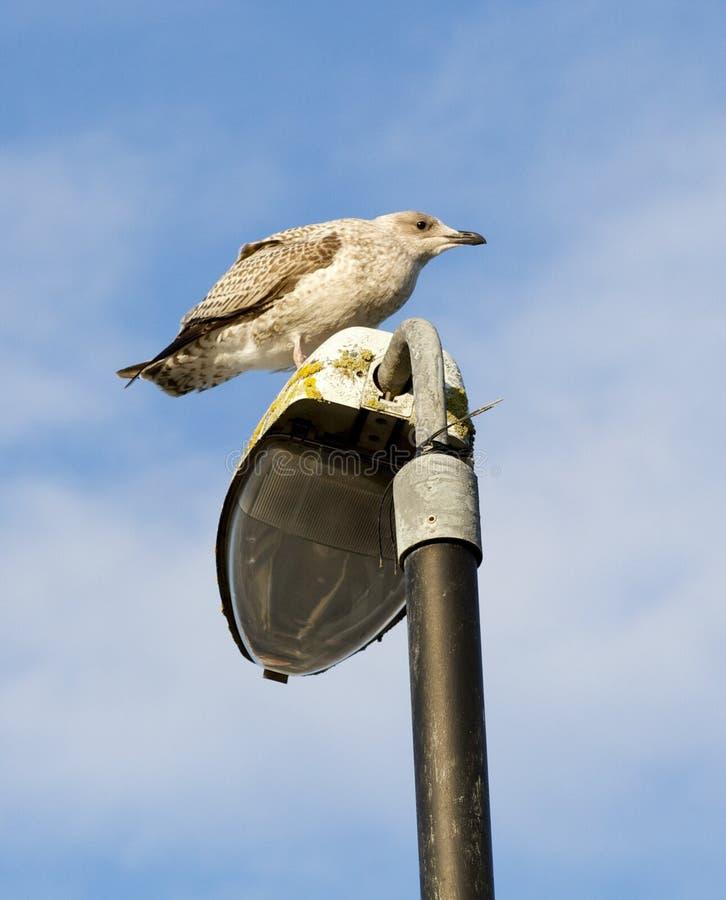 Descanso juvenil da gaivota foto de stock royalty free