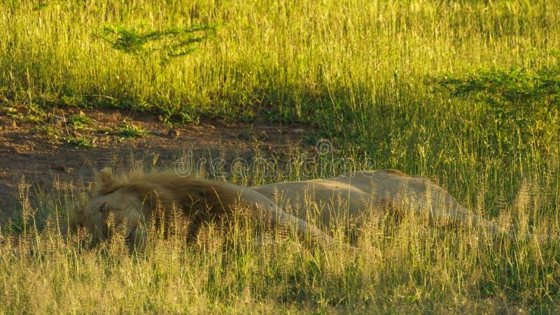 Descanso masculino do leão sobre a grama verde imagens de stock royalty free