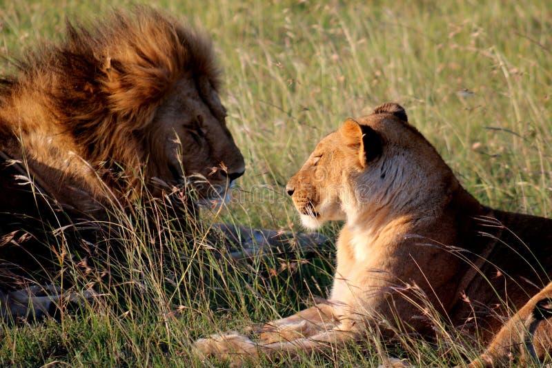 Descanso masculino e fêmea dos leões fotografia de stock