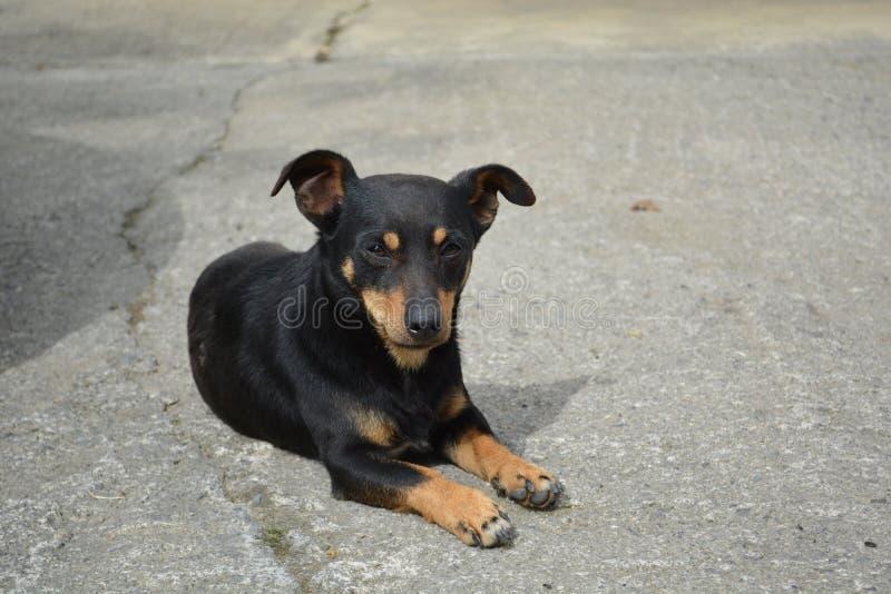 Descanso preto e vermelho do cão fotos de stock