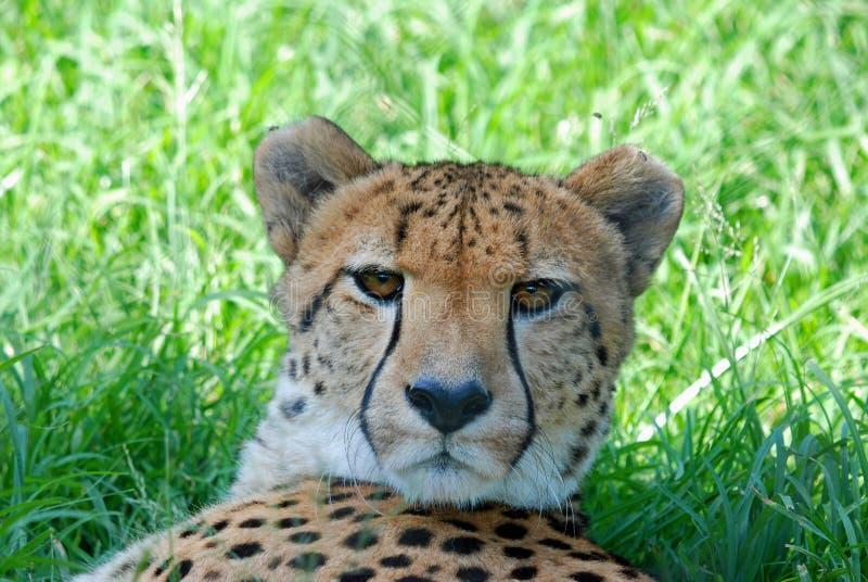 Descanso selvagem africano da chita fotografia de stock