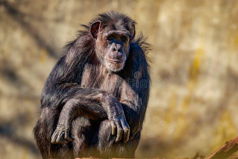 Descanso velho do chimpanzé imagem de stock royalty free