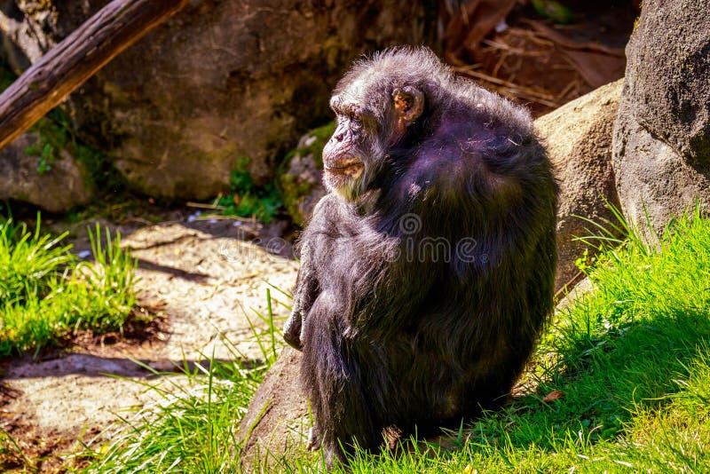 Descanso velho do chimpanzé imagens de stock
