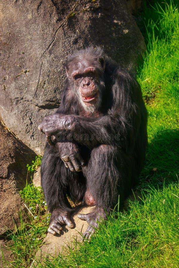 Descanso velho do chimpanzé fotografia de stock