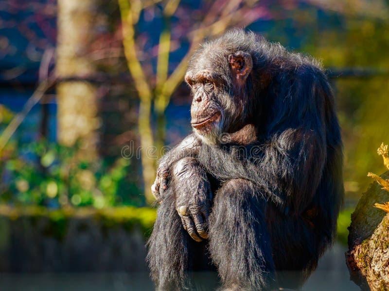 Descanso velho do chimpanzé foto de stock royalty free