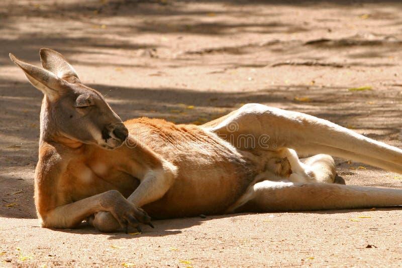 Descanso vermelho do canguru imagens de stock