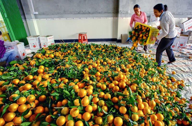 Descargan a los chinos de las naranjas de la caja, fruta en pila grande foto de archivo