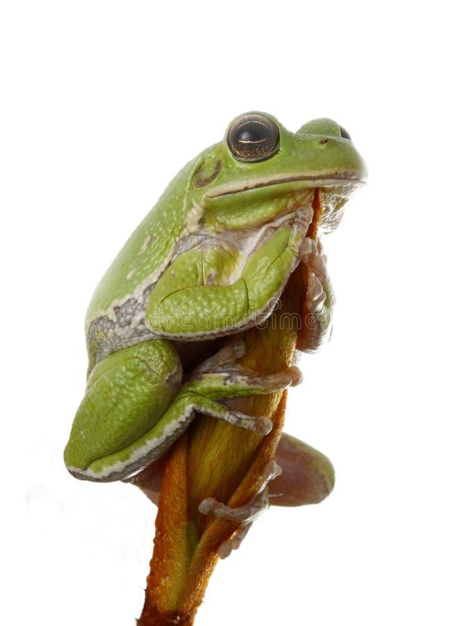 Descascamento Treefrog foto de stock
