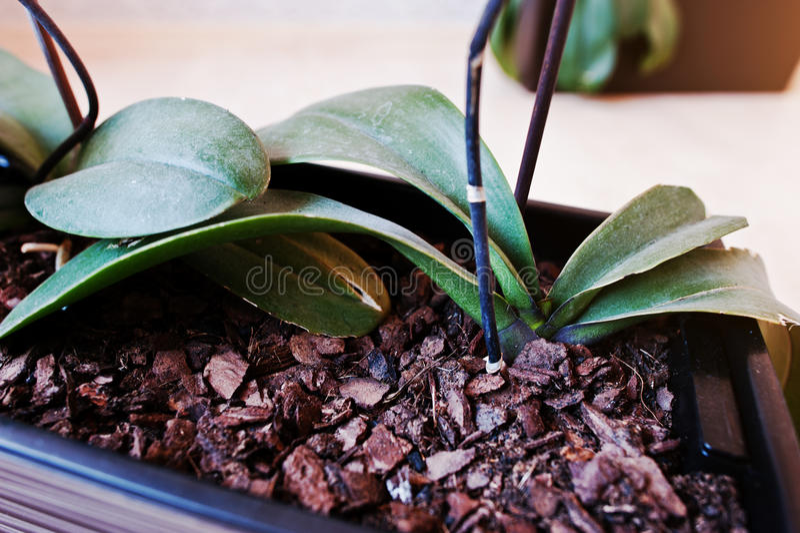 Descasque em orquídeas de um potenciômetro no fundo de madeira imagens de stock