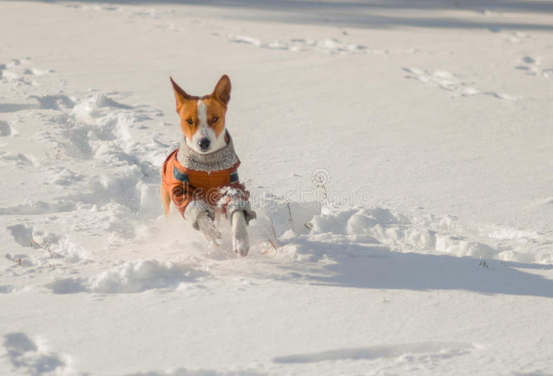 Descendant of African ancestors (basenji) galloping in fresh snow. Cute descendant of African ancestors (basenji) galloping in fresh snow royalty free stock images