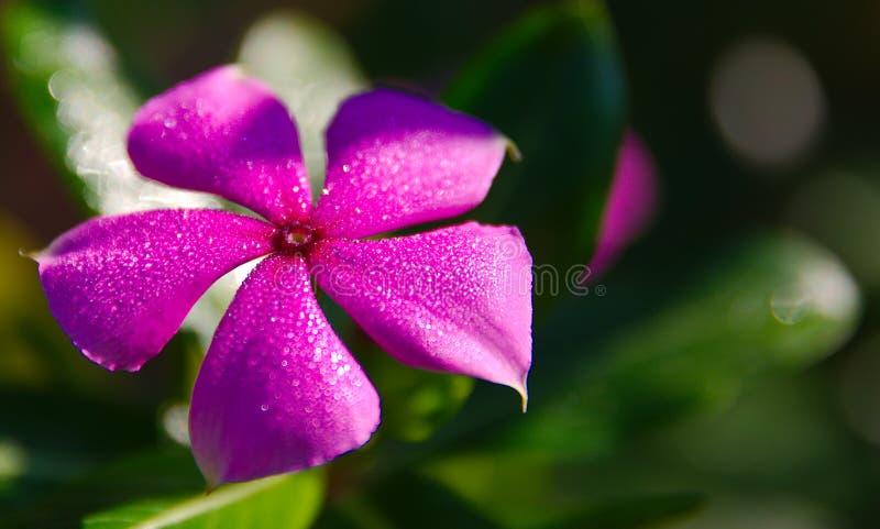 Descenso de roc?o chispeante en un p?talo vibrante de la flor fotografía de archivo libre de regalías