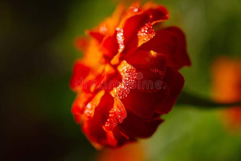 Descenso de roc?o brillante en los p?talos vibrantes de una flor capturados en foco selectivo foto de archivo libre de regalías