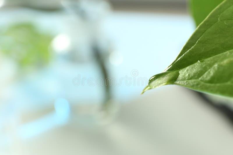 Descenso del agua en la hoja verde contra el fondo borroso, primer con el espacio para el texto imagen de archivo