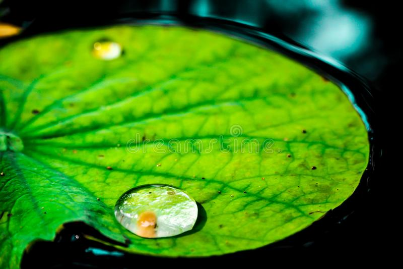 Descenso del agua en la hoja verde del loto Roc?o por ma?ana Limpie el ambiente fotografía de archivo libre de regalías