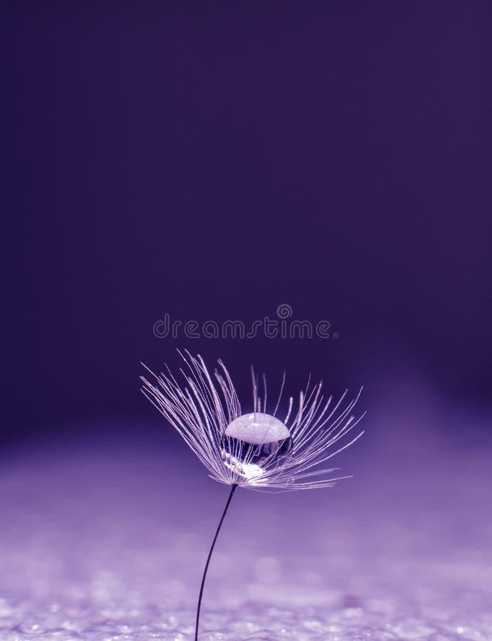 Descenso hermoso del agua en una macro de la semilla de flor del diente de león en naturaleza Espacio libre para el texto Papel p foto de archivo libre de regalías