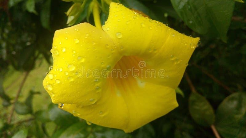 Descensos de la flor y de la lluvia foto de archivo libre de regalías
