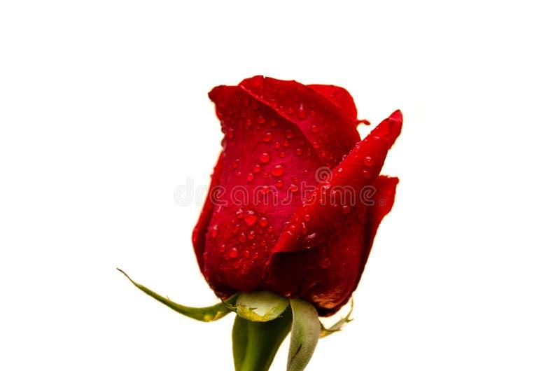 descensos de la rosa c del rojo imagen de archivo