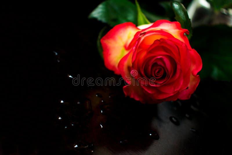 Descensos de una rosa roja y del agua fotografía de archivo