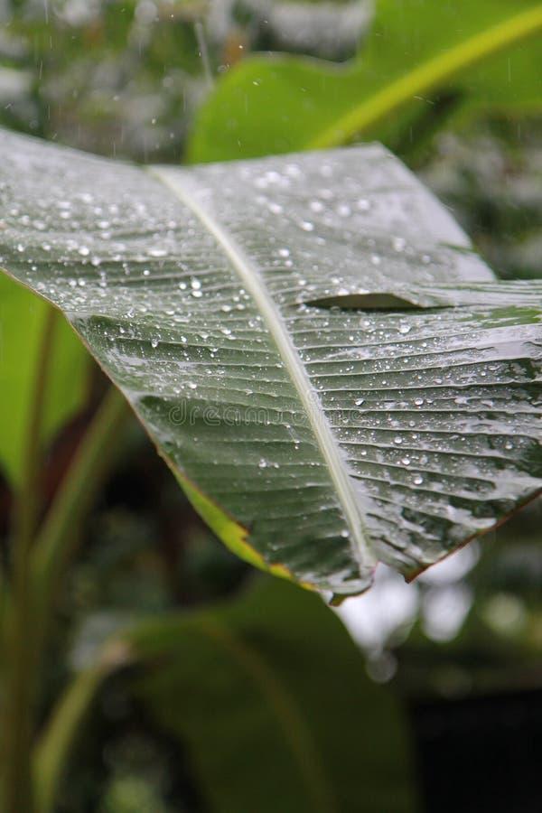 Descensos del agua de lluvia en la hoja verde del plátano imágenes de archivo libres de regalías