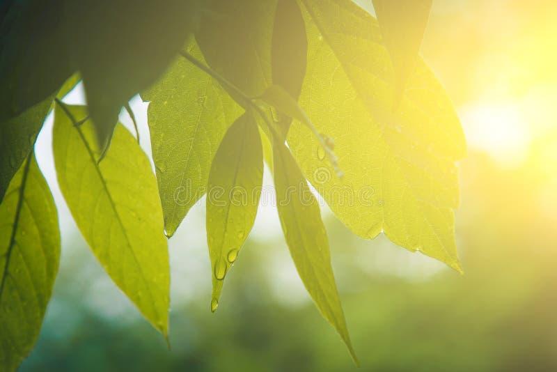 Descensos del agua después del flujo de la lluvia de las hojas verdes en el primer de los árboles Lluvia del verano en un d?a sol foto de archivo