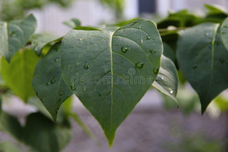 Descensos del agua en las hojas de la lila fotos de archivo libres de regalías