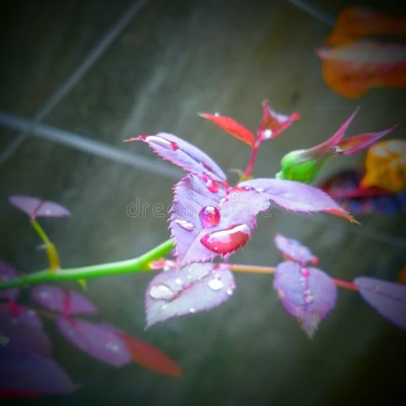 Descensos en la hoja color de rosa (calma de la mañana) fotos de archivo