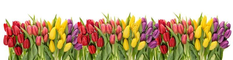 Descensos frescos del agua de los tulipanes de la primavera Florezca la frontera foto de archivo