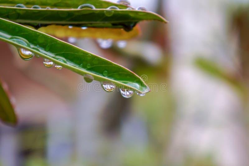 descensos hermosos del agua de lluvia en la hoja verde foto de archivo libre de regalías