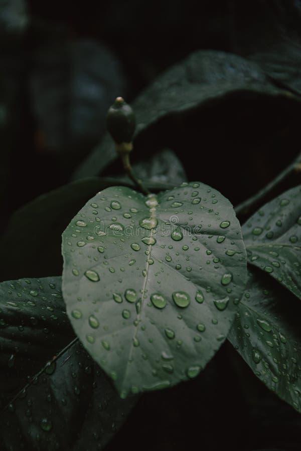 Descensos hermosos grandes del agua de lluvia transparente en una macro verde de la hoja Los descensos del roc?o en la ma?ana bri fotografía de archivo libre de regalías