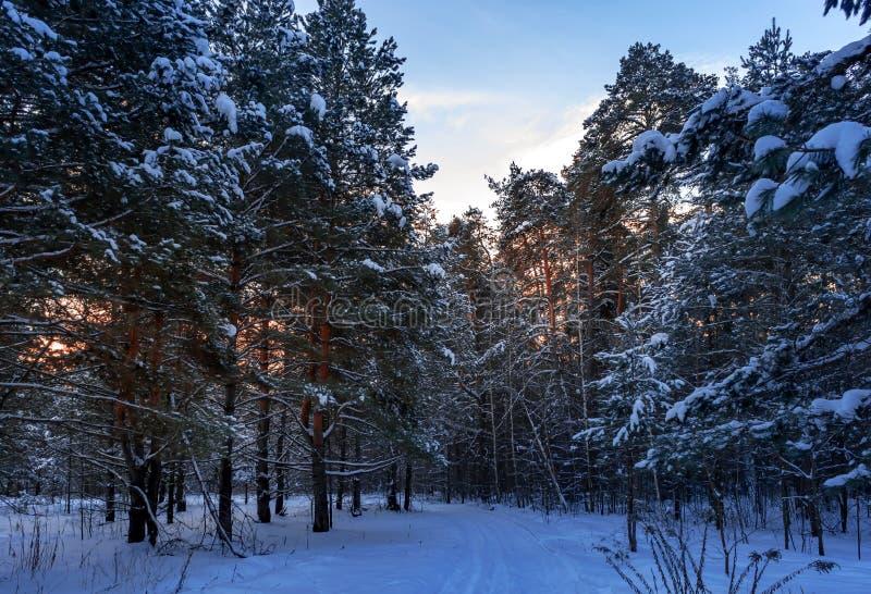 Descente de ski à l'arrière-plan ensoleillé de coucher du soleil d'arbres forestiers de neige d'hiver de forêt d'hiver Coucher du photo stock