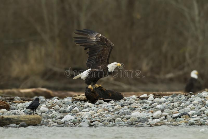 Descolagem calva de Eagle In Flight With Fish foto de stock royalty free
