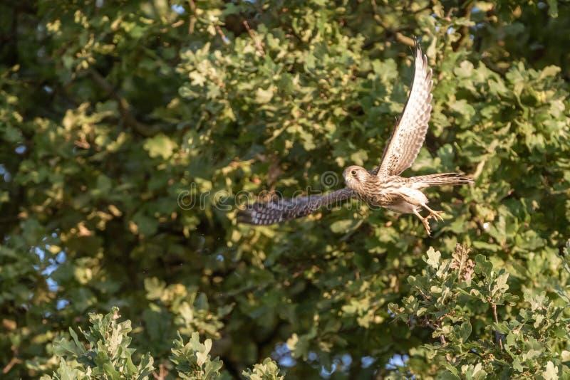 Descolagem comum do tinnunculus de Falco do francelho foto de stock
